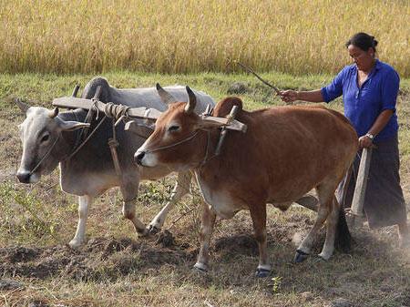 Karbouwen met ploegende vrouw